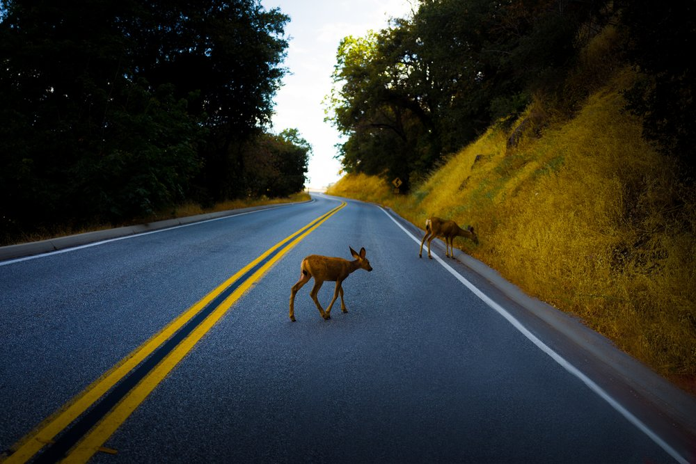 Be careful when driving during this time of year. Go slowly and watch for Mule Deer making their annual trek