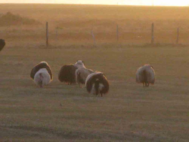 Sheep-175-800-600-80.jpg
