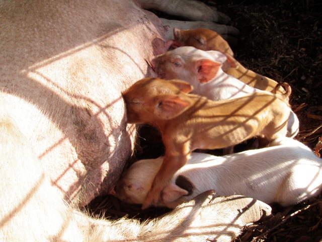 Newborn Piglets enjoying mom's milk!