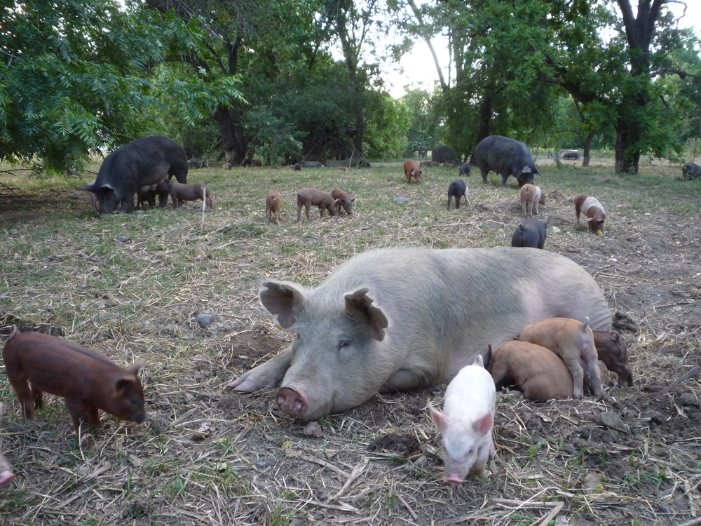 Piglets on pasture