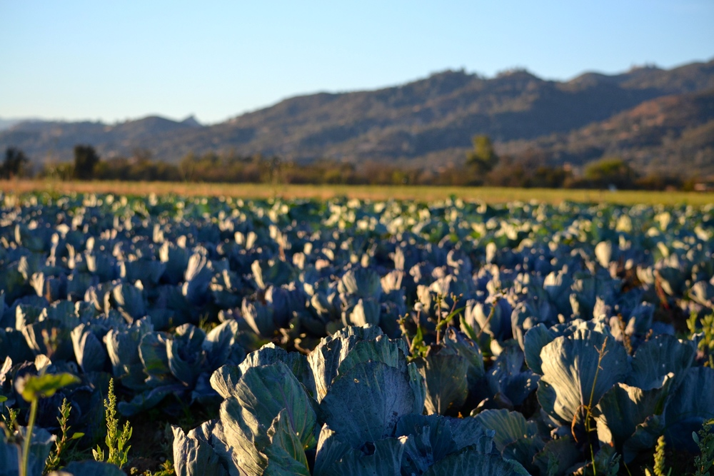 Cabbage field at sunrise