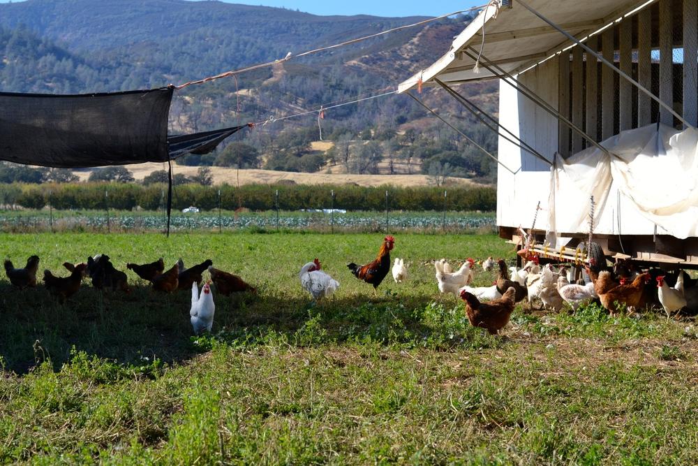 Sun or Shade? Chicken's choice