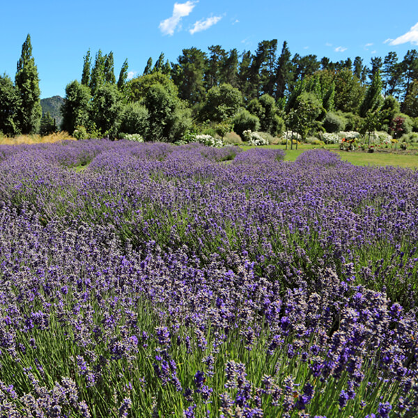 Ashcombe Maze and Lavender Farm.jpg