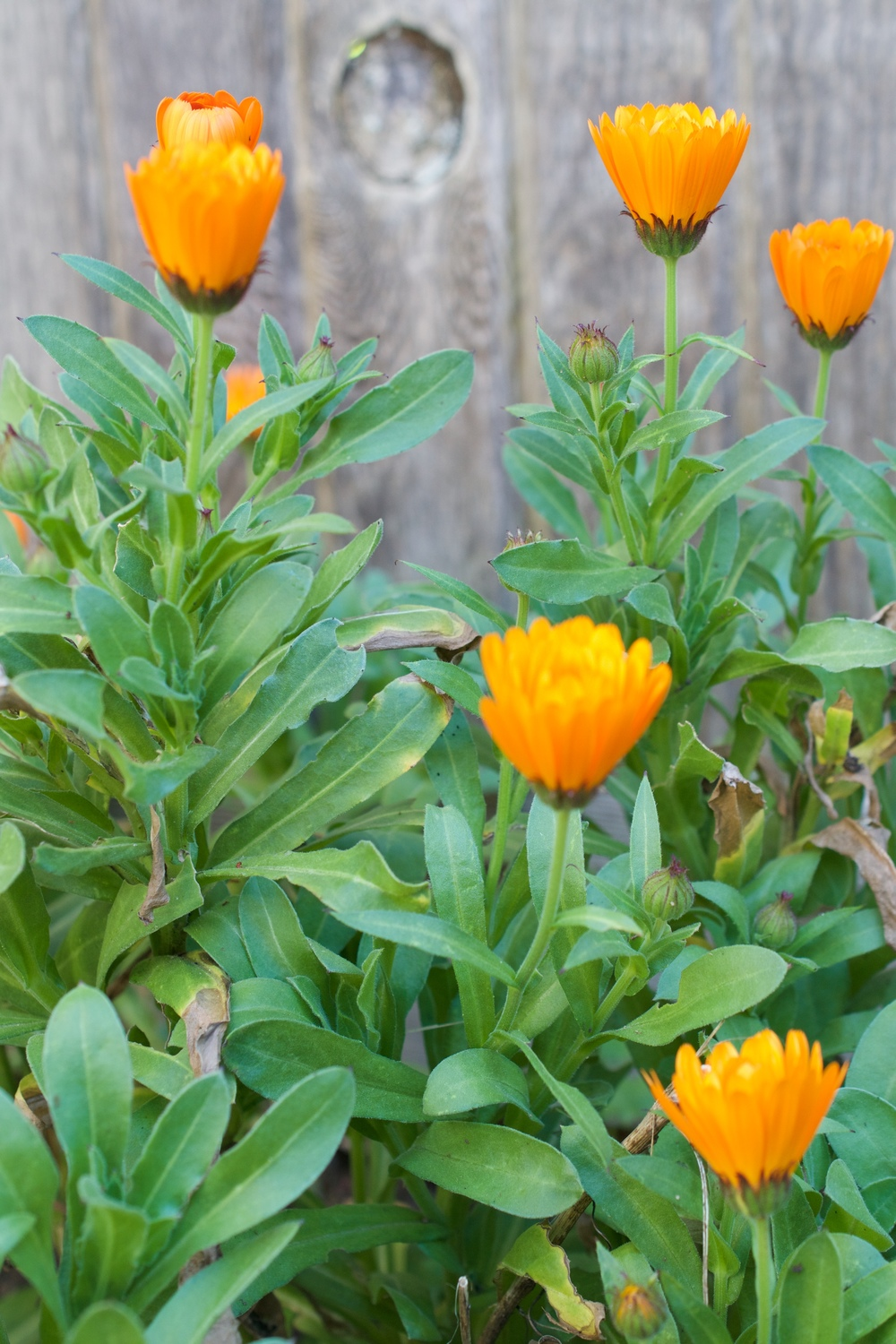 Calendula once established in a garden or roadside will spread and produce more flowers if you cut them often.