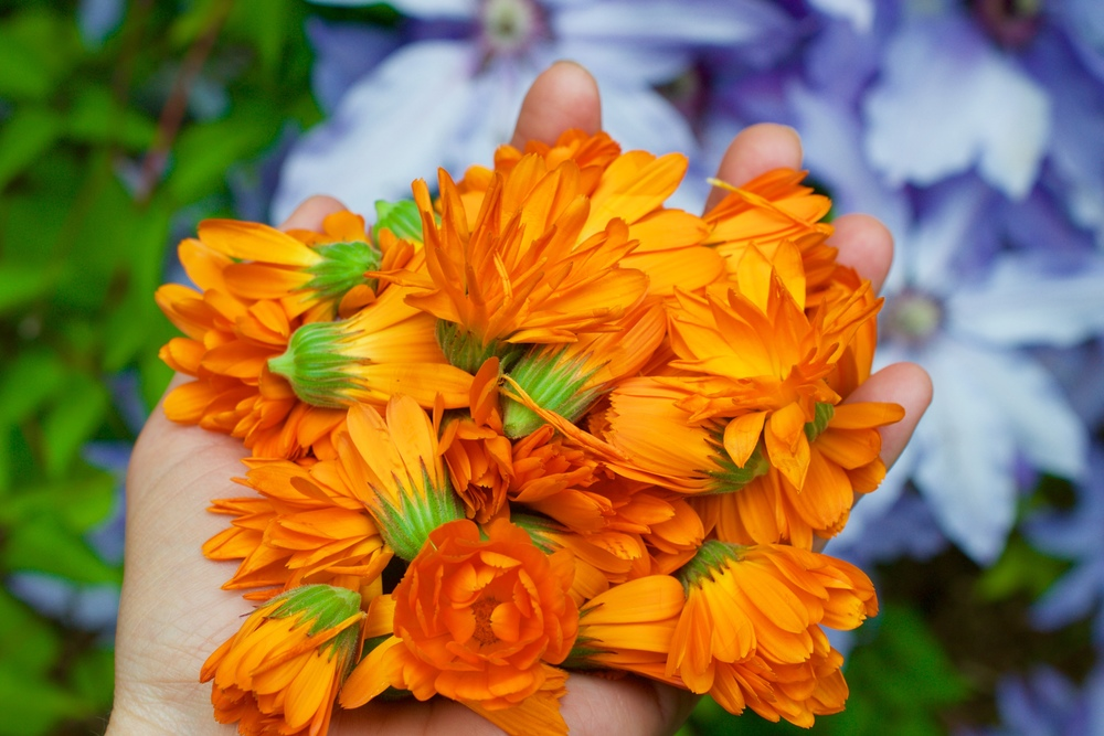 Gathered bunch of calendula flowers, depending on the time of day that you gather them, they will be open or more closed. This is gathered from the morning time before the flowers have fully opened.