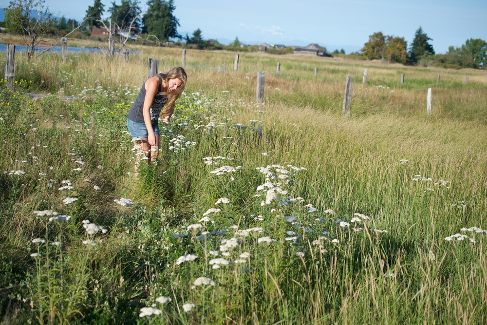 Gathering yarrow, Achillea millefolium in the later summer.