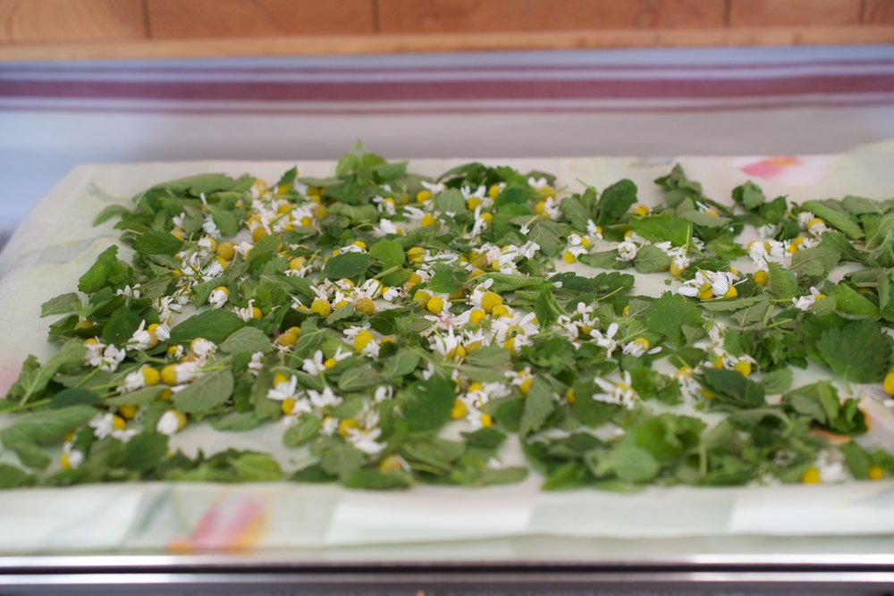 Lemon balm leaves and chamomile flowers, gathered from the garden and spread out to dry.