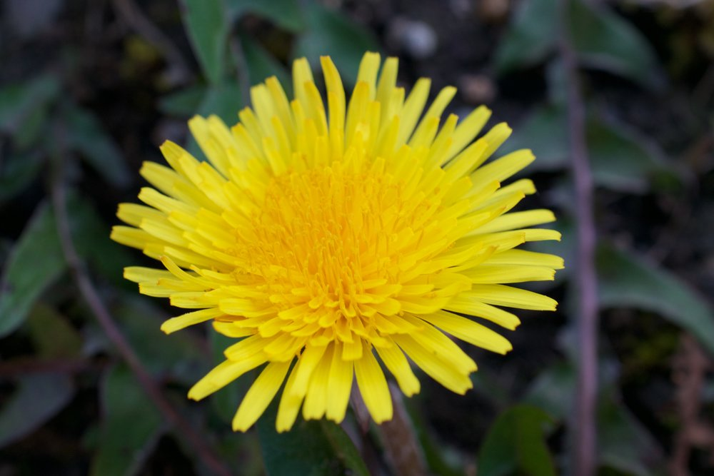 Dandelion flower; new flowers can be eaten in a stir fry, make sure to remove all the green part as it is quite bitter.