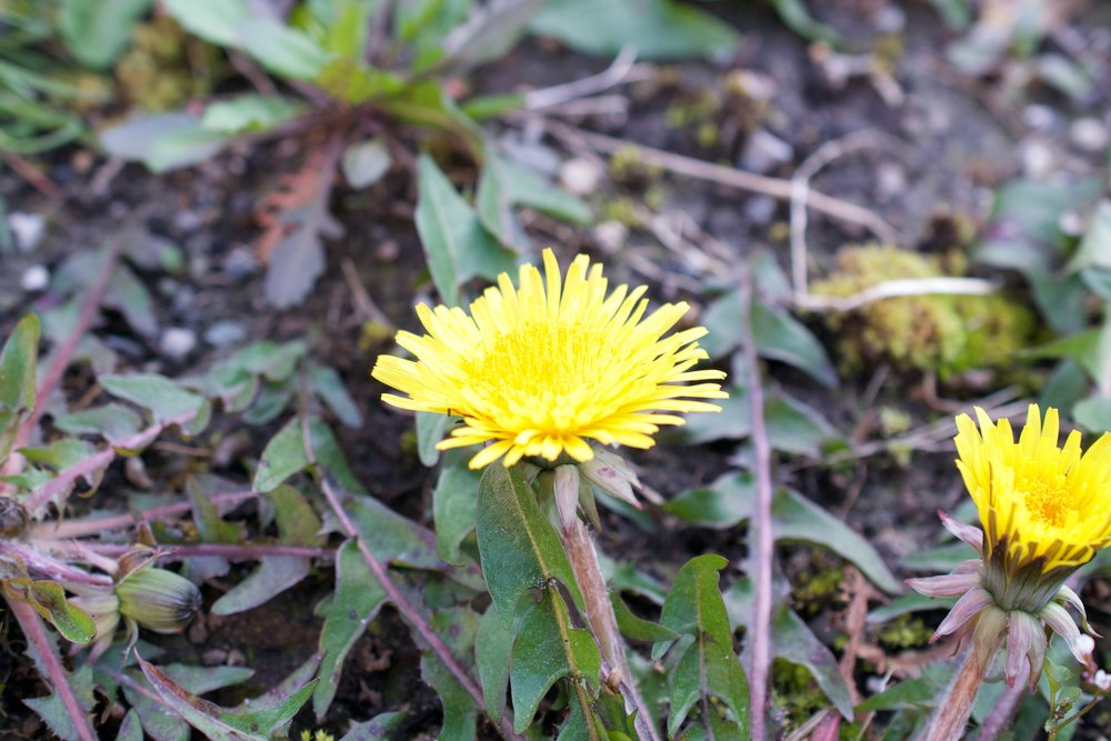 Dandelion leaves jagged on edges, these leaves are too old to eat but could be used in tea.