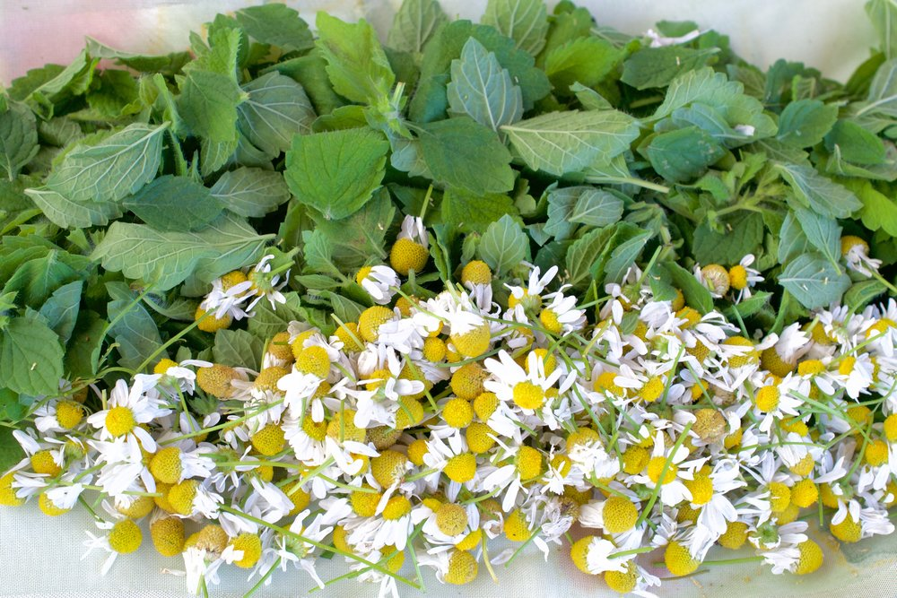 Harvested and cleared lemon balm and chamomile flowers for a relaxing, digestive tea blend. Must be spread out to dry