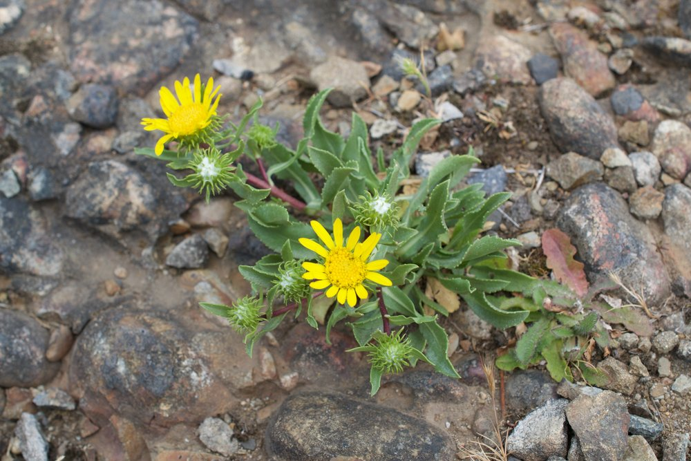 Gumweed is found on various types of grounds near the seashore, ranging from rocky to sandy to dry bluffs covered in grass.
