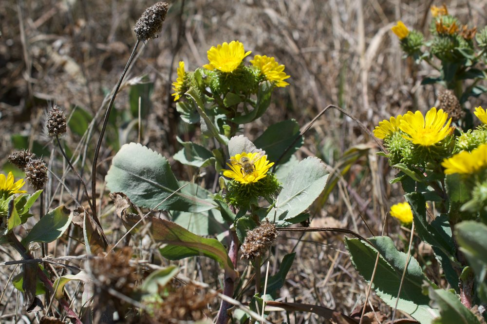 Leaves of gumweed are long and toothed and have a dusky appearance to them.