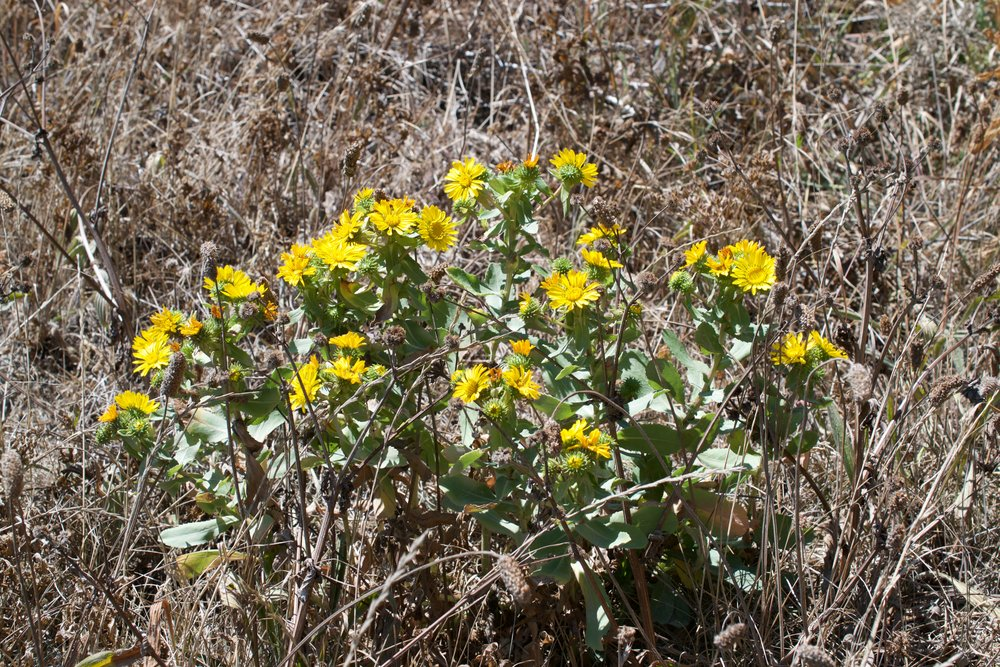 Gumweed grows in clusters of flowers that can range in size from small with only a few flower heads to quite expansive stretching several feet. The plant is short however and does not grow more than waist high.