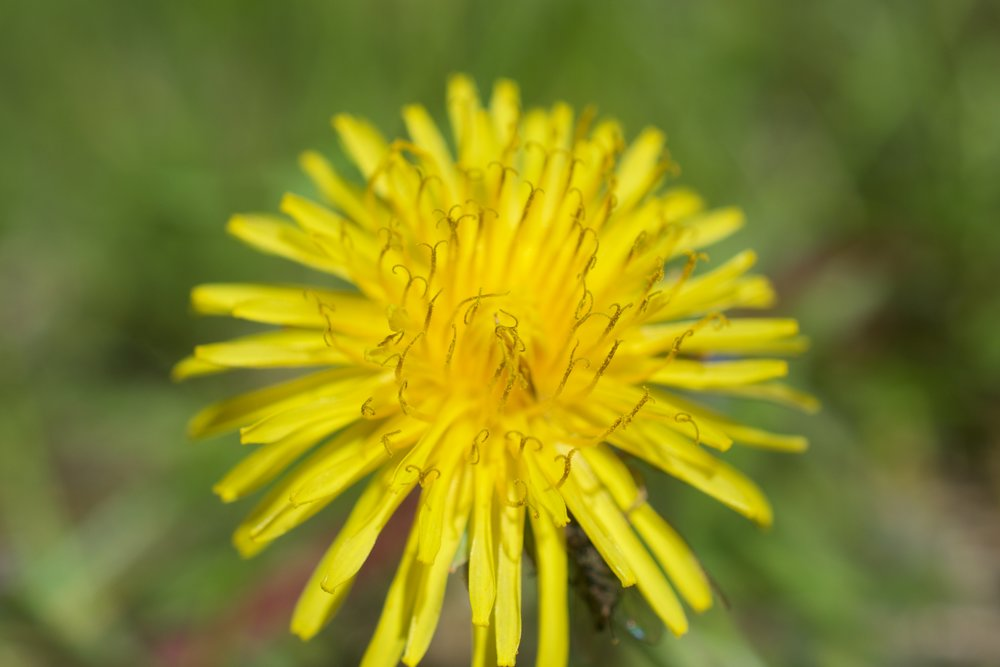 Pollen seen here is an abundant part of the dandelion flower and is a big reason why bees love these flowers!