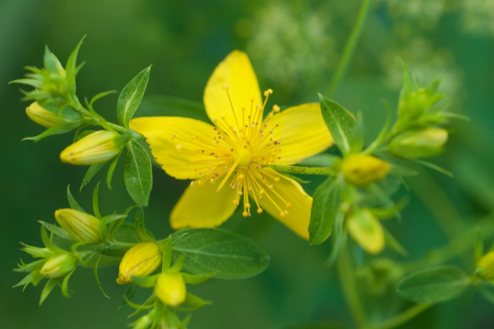 St. John's Wort Flower has 5 petals and multiple stamens sorted into three groups.