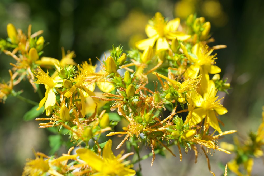 St. John's Wort can be found in low lying areas in river flood zones, road side ditches, trails and meadows.