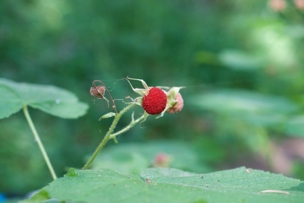 Thimbleberries are soft, fuzzy and turn bright red when ripe.