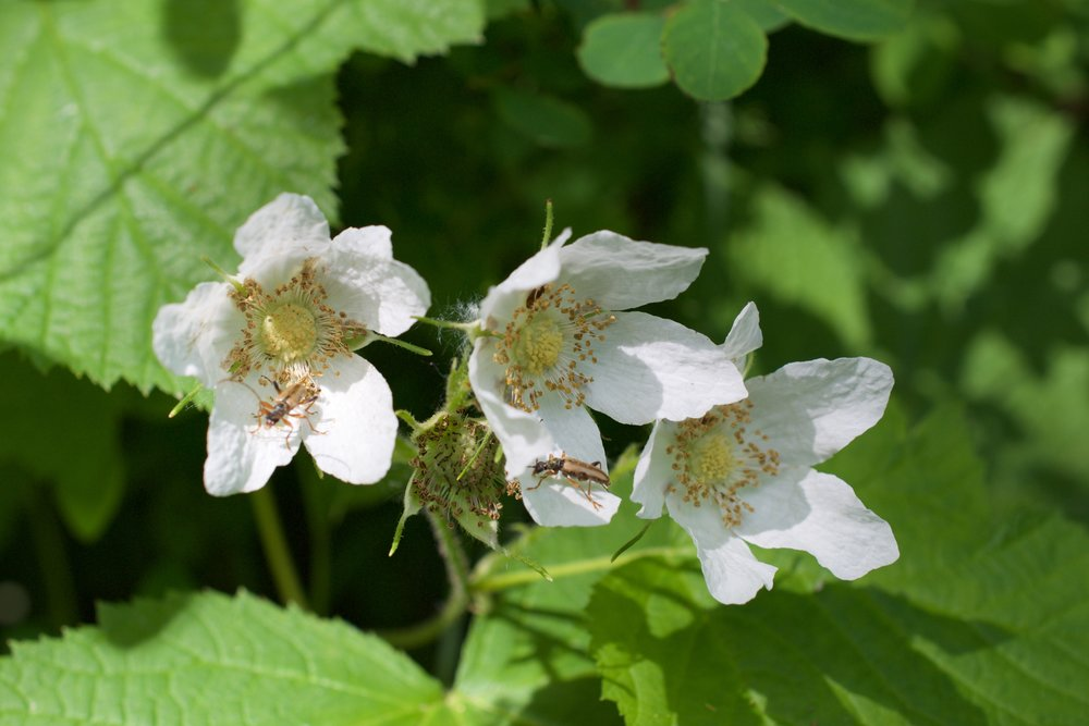 Thimbleberry flowers are white-light pink and have 5 petals.