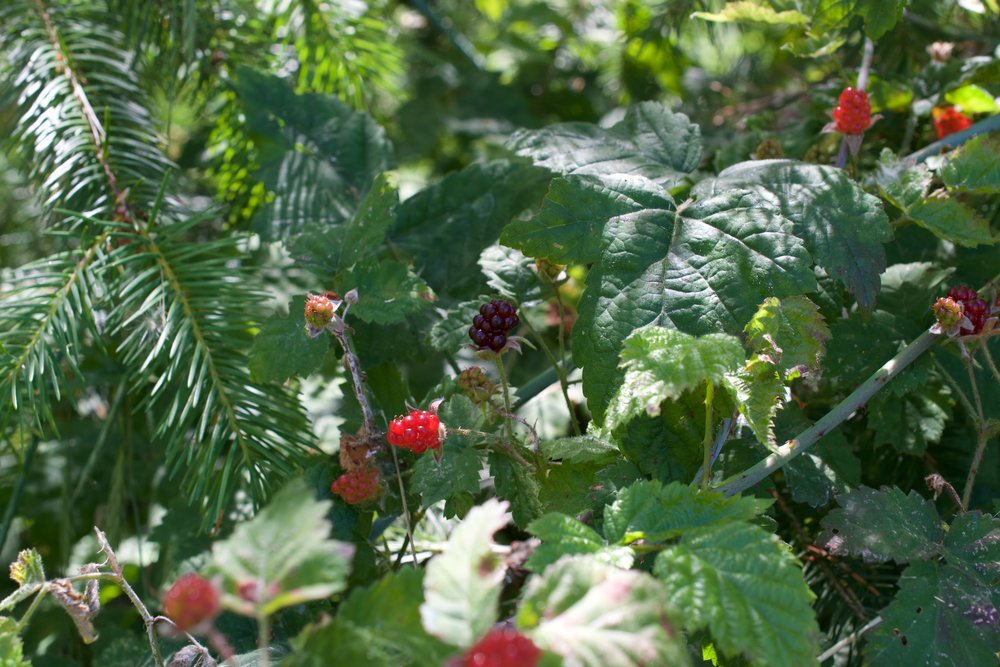 Here you see the trailing blackberry growing amongst a whole bunch of different plants, it grows overtop of plant structures.