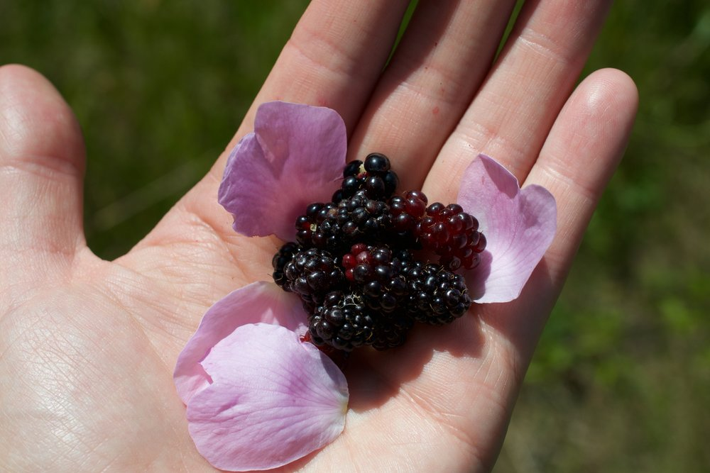 Trailing blackberry  as a yummy treat for young and old.