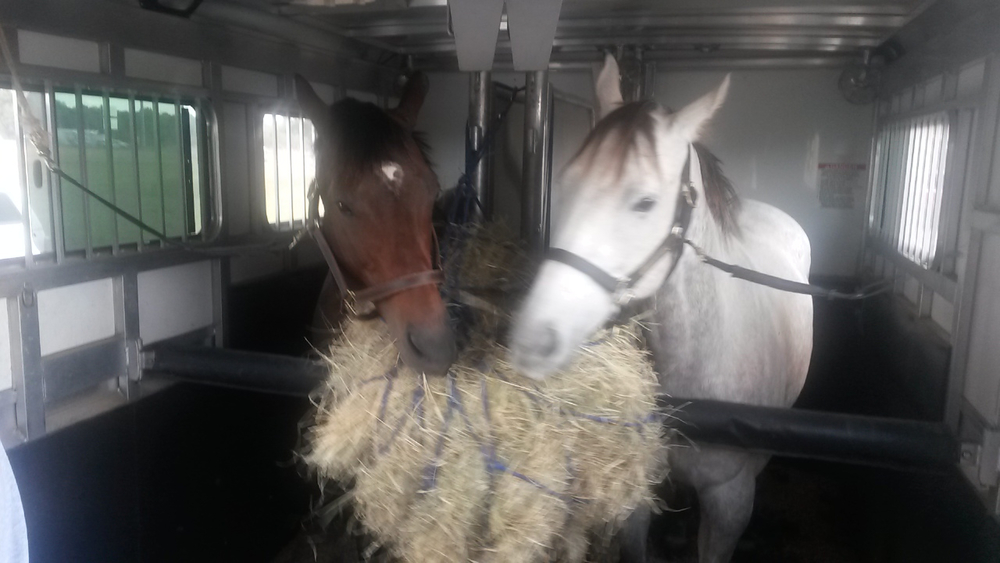 Tamnation and Road Ruler Slew sharing some hay on the trip up to the Horse Park