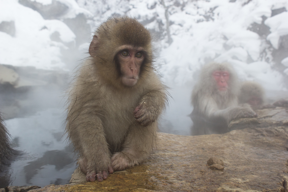 Meeting the snow monkeys of Japan, in the Australia Times