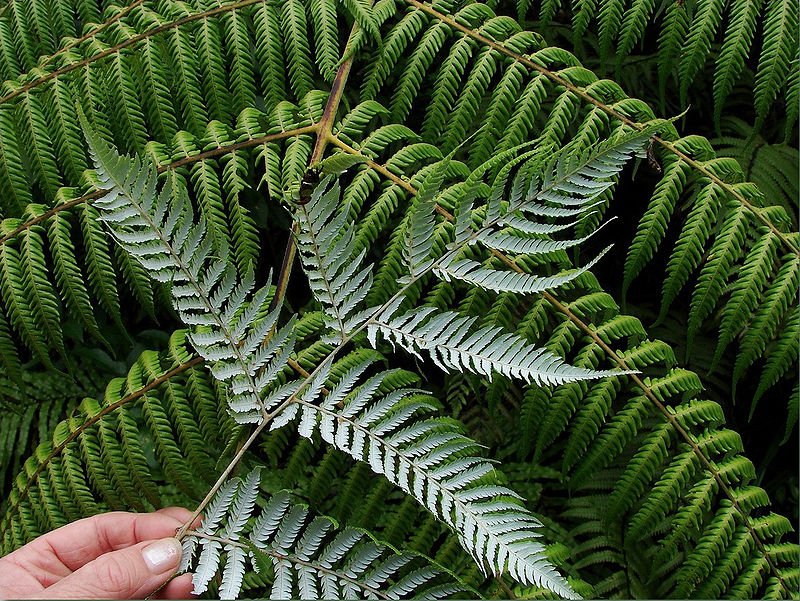The Silver Fern. Image from Wikipedia.