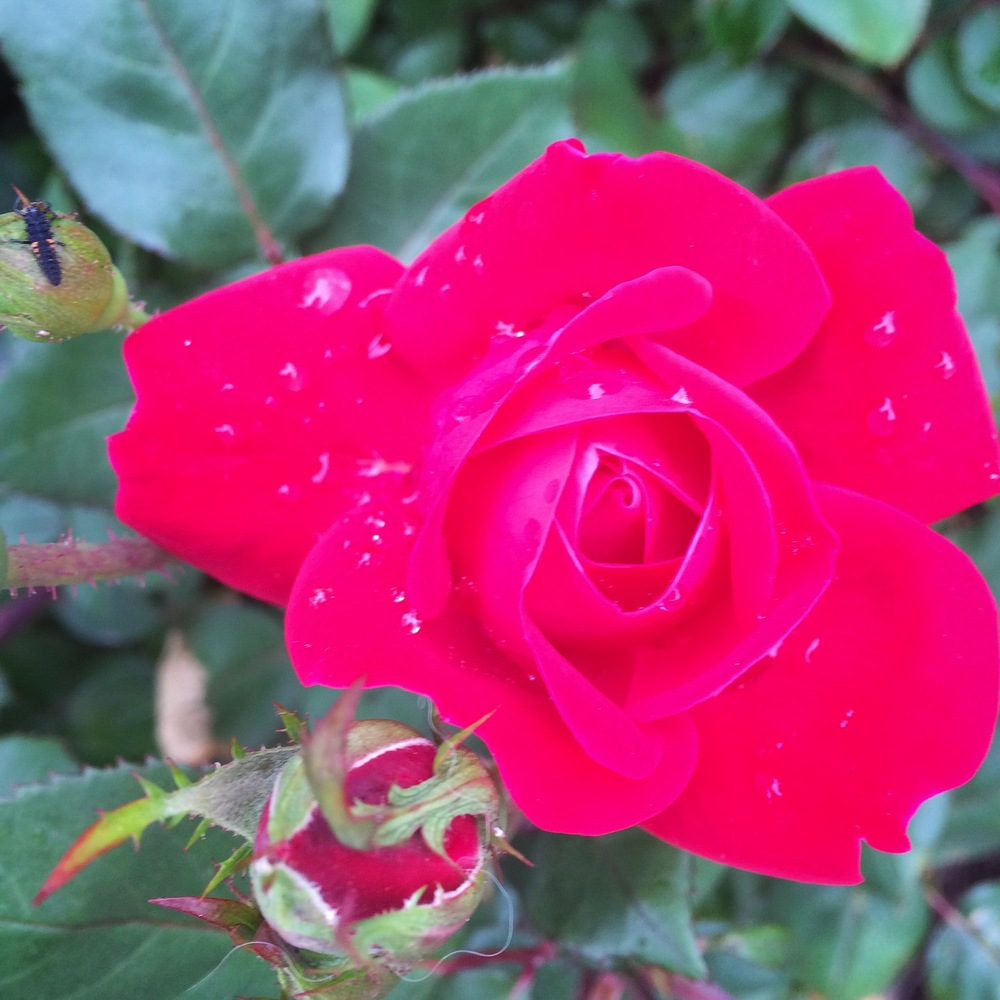 This DC rain is making me a little nutty but the roses in front of my place are drinking it up.