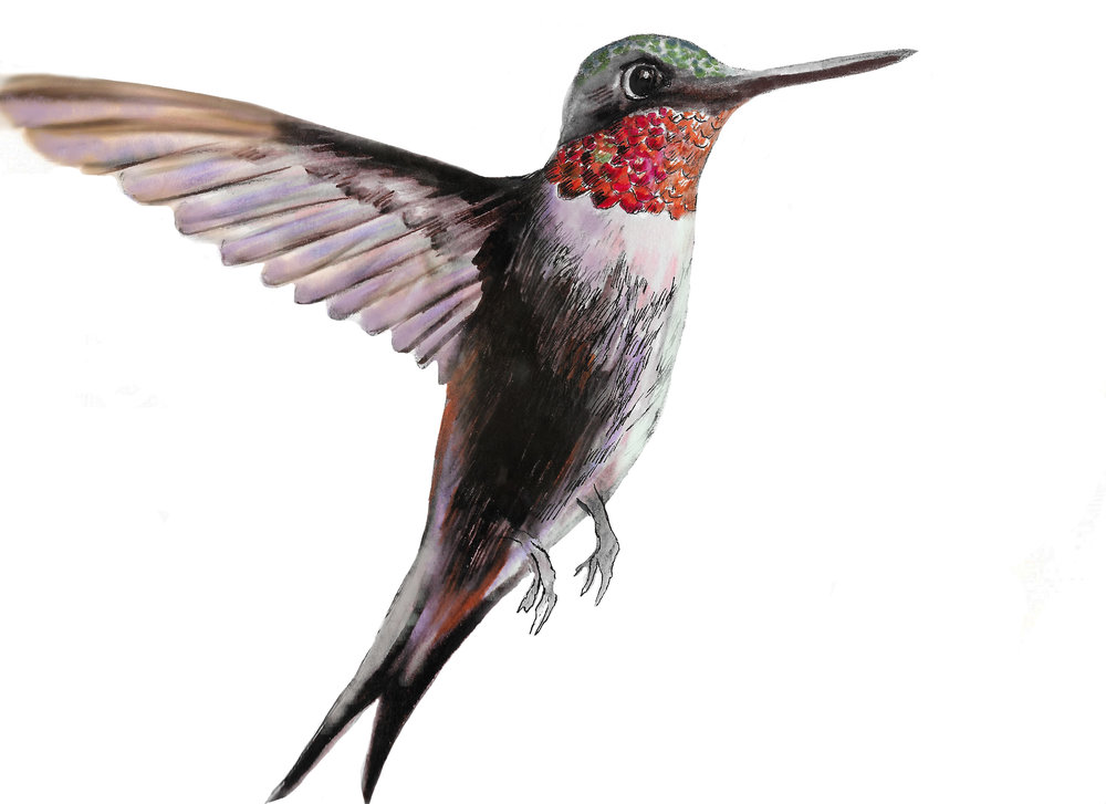 Finished hummingbird drawing scanned and colour corrected. This was then printed on regular paper using a home laser printer.