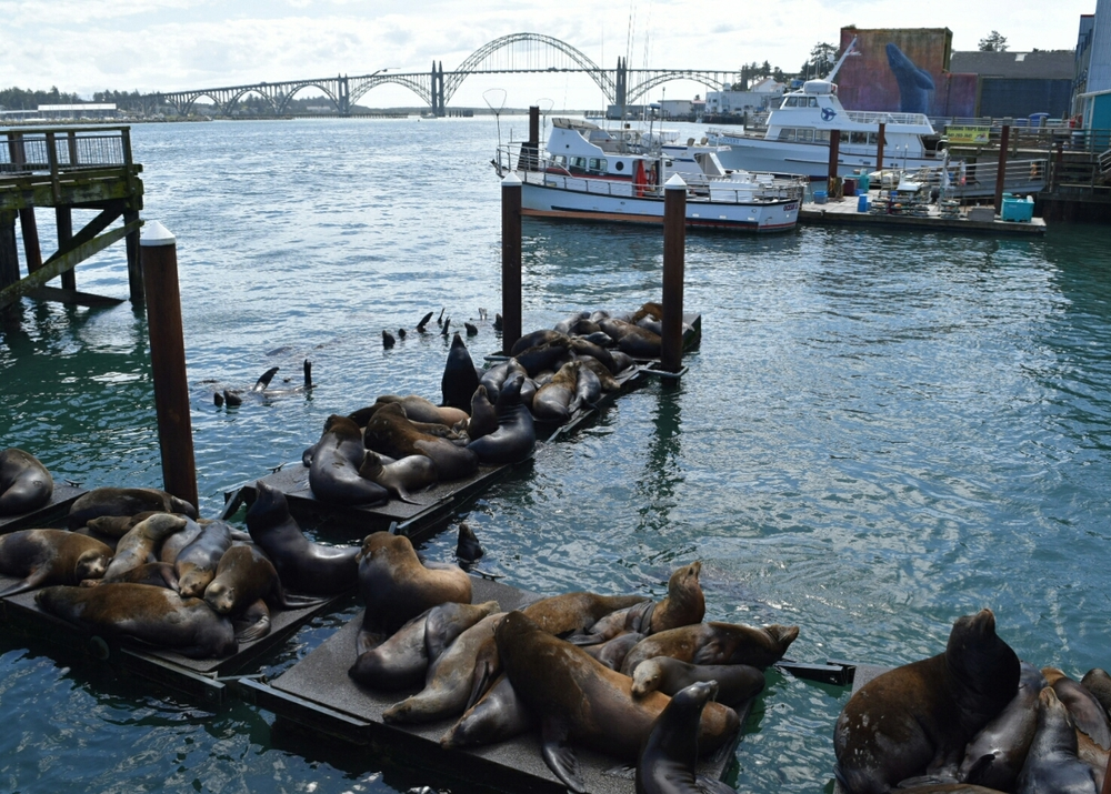 The Sea Lions of Newport, OR.