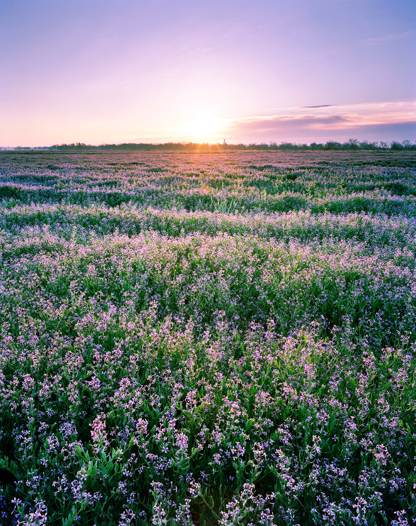 Wild Purple Mustard Field