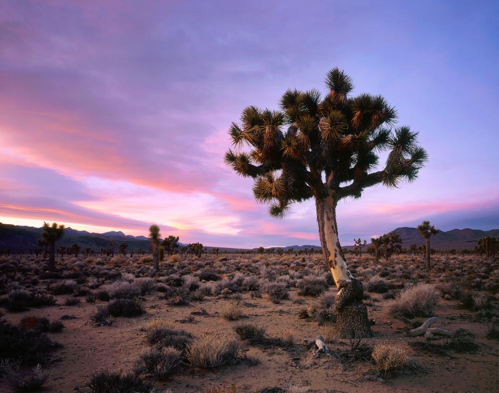 """Joshua Tree Sunset"" – Prints available."