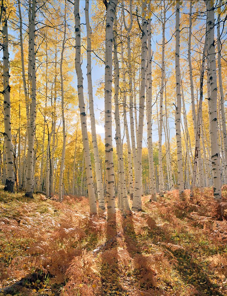 """Glowing Aspen"" - Ektar 100 4x5, 75mm Lens - 1/8th second at f32, no filters."