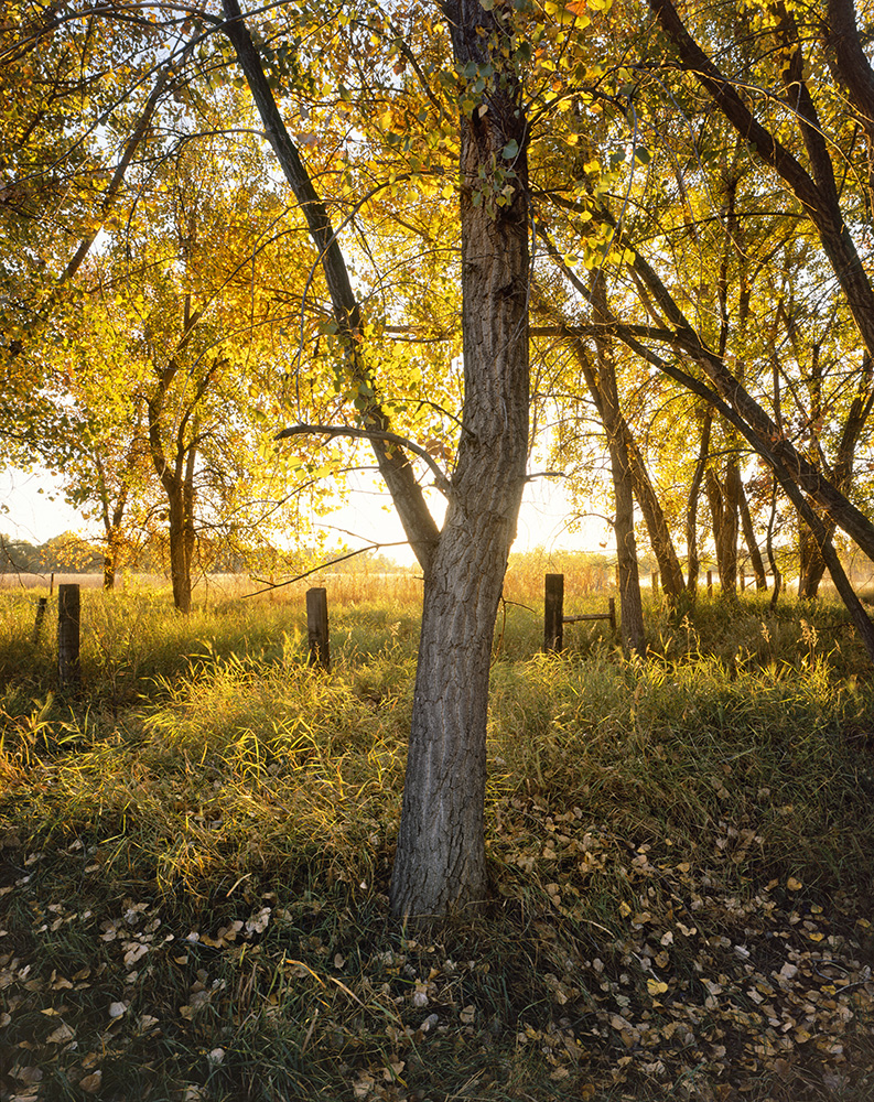 """Glowing Cottonwood"" - Provia 100f 4x5, 75mm lens - 1 second at f32, no filters."