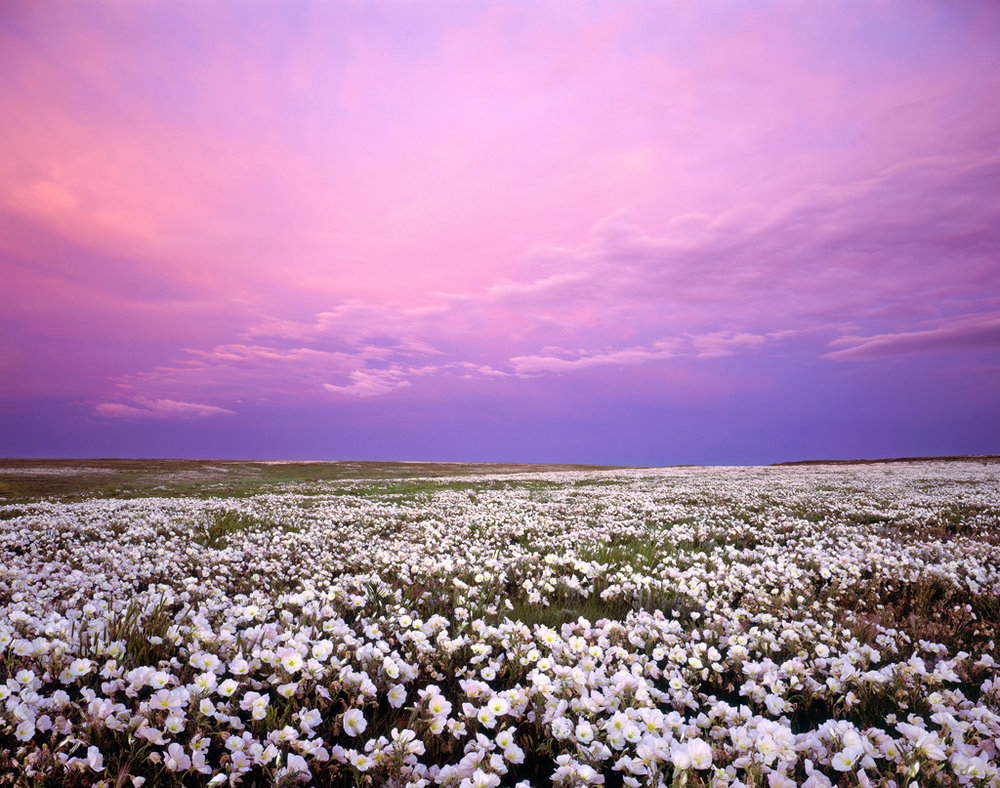 """Primrose Bloom and Stormy Sunset"" - Velvia 50 4x5, 90mm Lens, 8 second at f32, 2 stop hard GND filter"