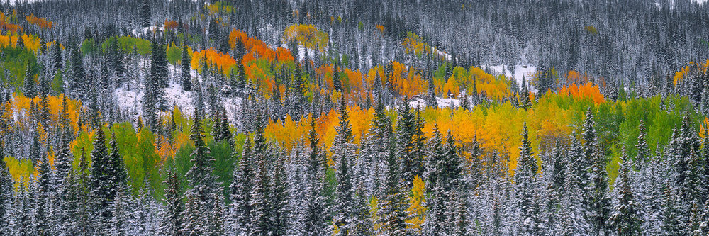 """Painted Forest"" - Vibrant autumn aspen stand out against a backdrop of snow-dusted pines in the San Juan Mountains.  Prints Available.  Prints Available."