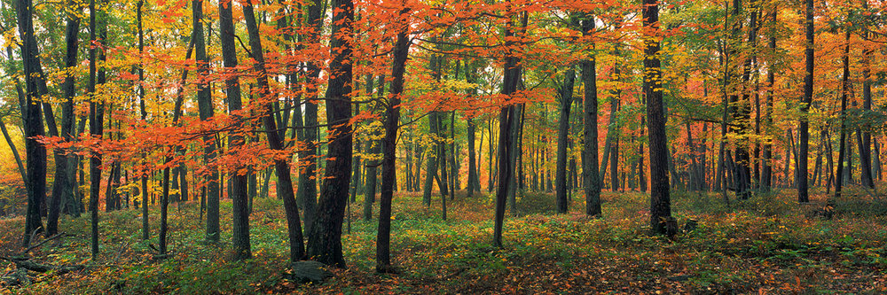 """Deep Red Autumn"" - Autumn colors in the Appalachian forests of Pennsylvania.  Prints Available."