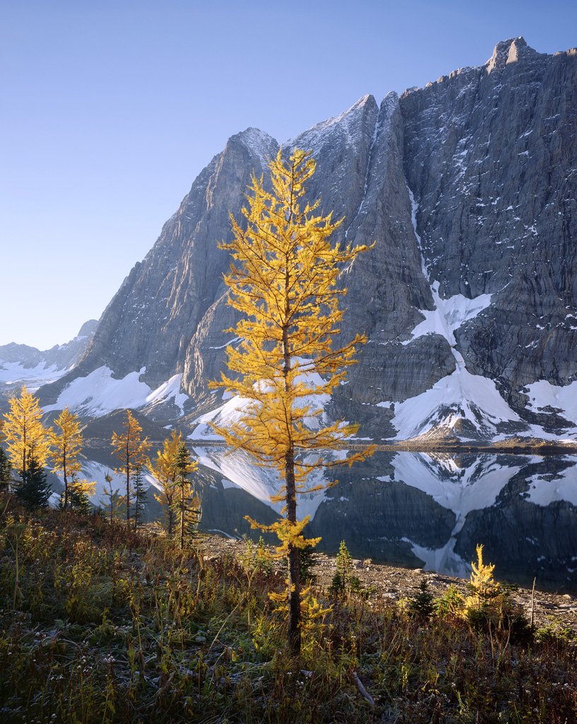 """Larch Glow"" - A golden larch along the shores of Floe Lake glows in the morning light.  Prints Available."