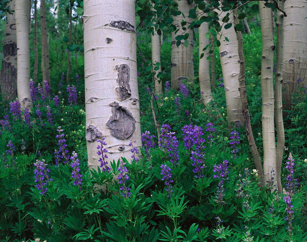 """Aspen Garden"" - Aspen and lupine in central Colorado.  Velvia 50 4x5, 210mm lens - 1 second at f32, no filters.  Having all the camera gear stuffed into the one f-stop camera insert allows me to easily swap everything over to my day hiking bag.  This is especially helpful because I often spend a couple weeks on the road, going from back and forth from backcountry treks to small day hikes.  Prints Available."
