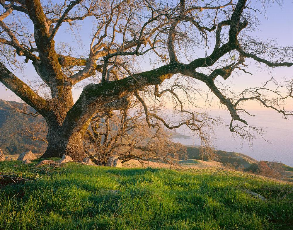 """Coastal Oak"" - Massive live oak trees make for a perfect evening along the central California Coast.   Prints Available"