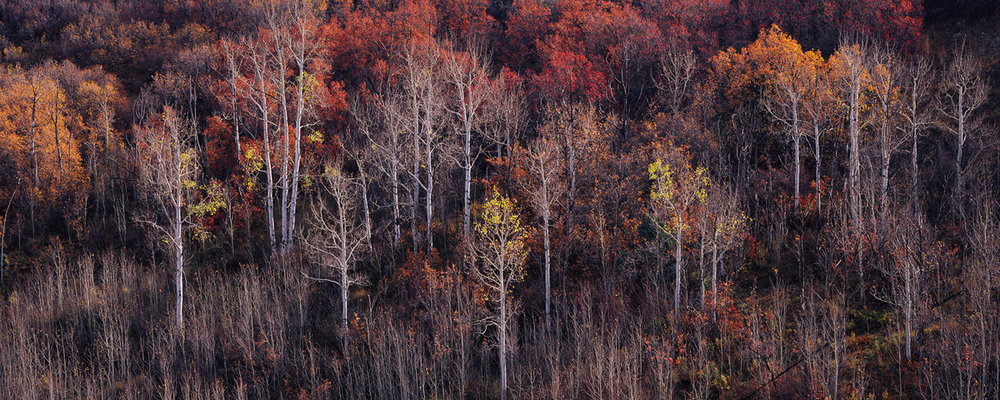 """""""The Remains of Autumn"""" - A few aspen trees hold on to the last of their golden leaves while the rest of the forest lies bare.   Prints Available"""
