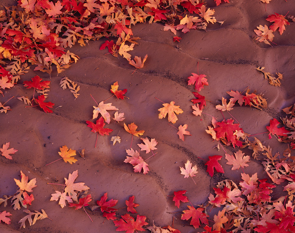 """""""Maple Waves"""" - Fallen maples leaves lay scattered in desert soil that was washed into waves by recent rains.   Prints Available"""