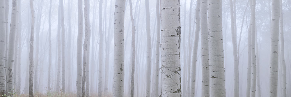 Aspen in the Fog