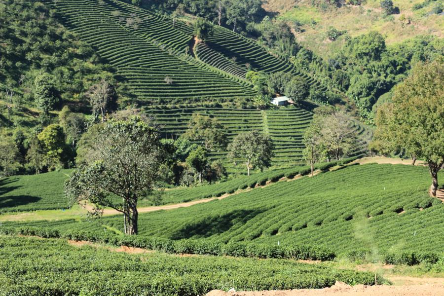 Thè monoculture, Chiang Rai