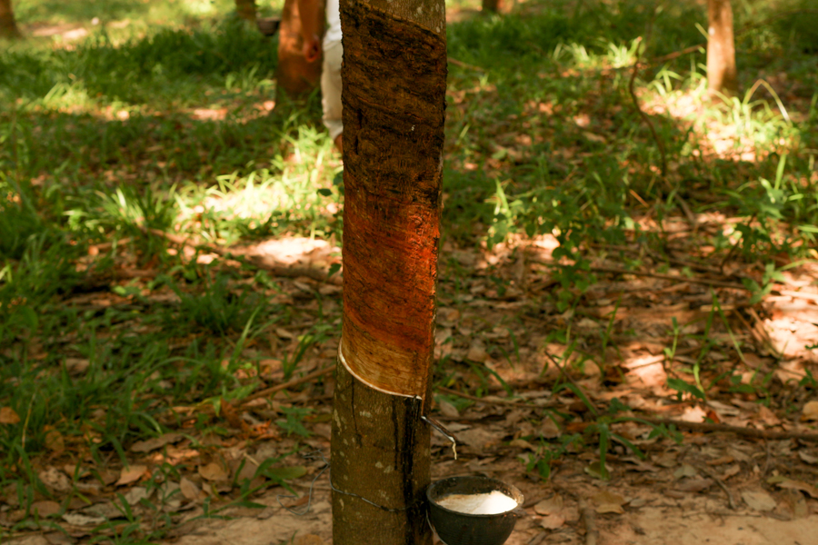 Rubber tree harverst, Nang Rong
