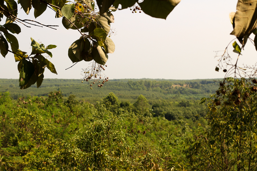 Teak forest leave place to Eucaliptus and Latex tree monocultures, Cambodian Border