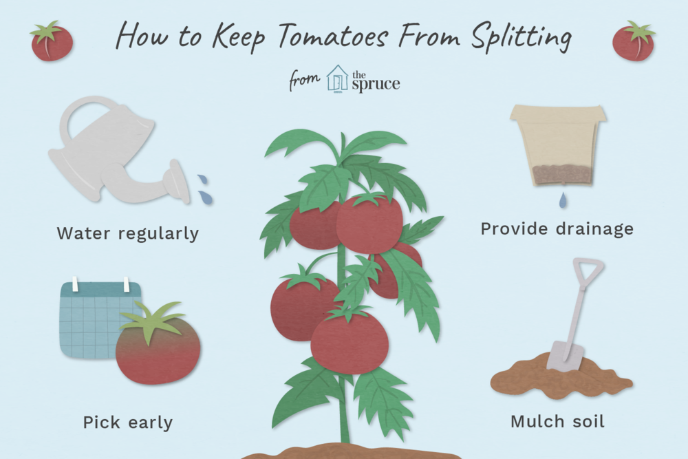 why-do-tomatoes-split-2540002_final-01.png