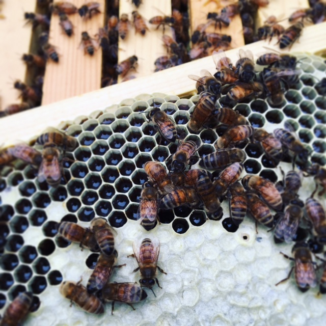 """House bees attending uncapped cells of nectar brought back to the hive by the forager bees."""