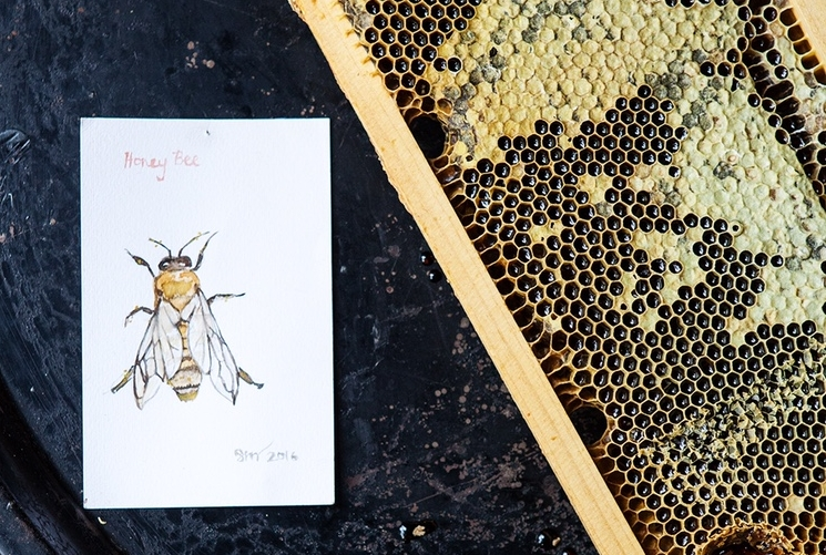 """Our honey bee (  Apis mellifera ) studied by artist  Sara Moffat  """