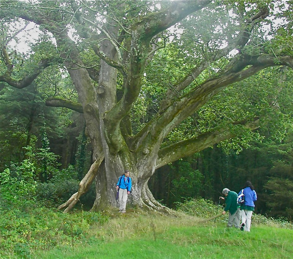 Brian Boru's tree cropped.JPG